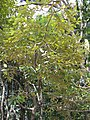 Litsea japonica2.jpg