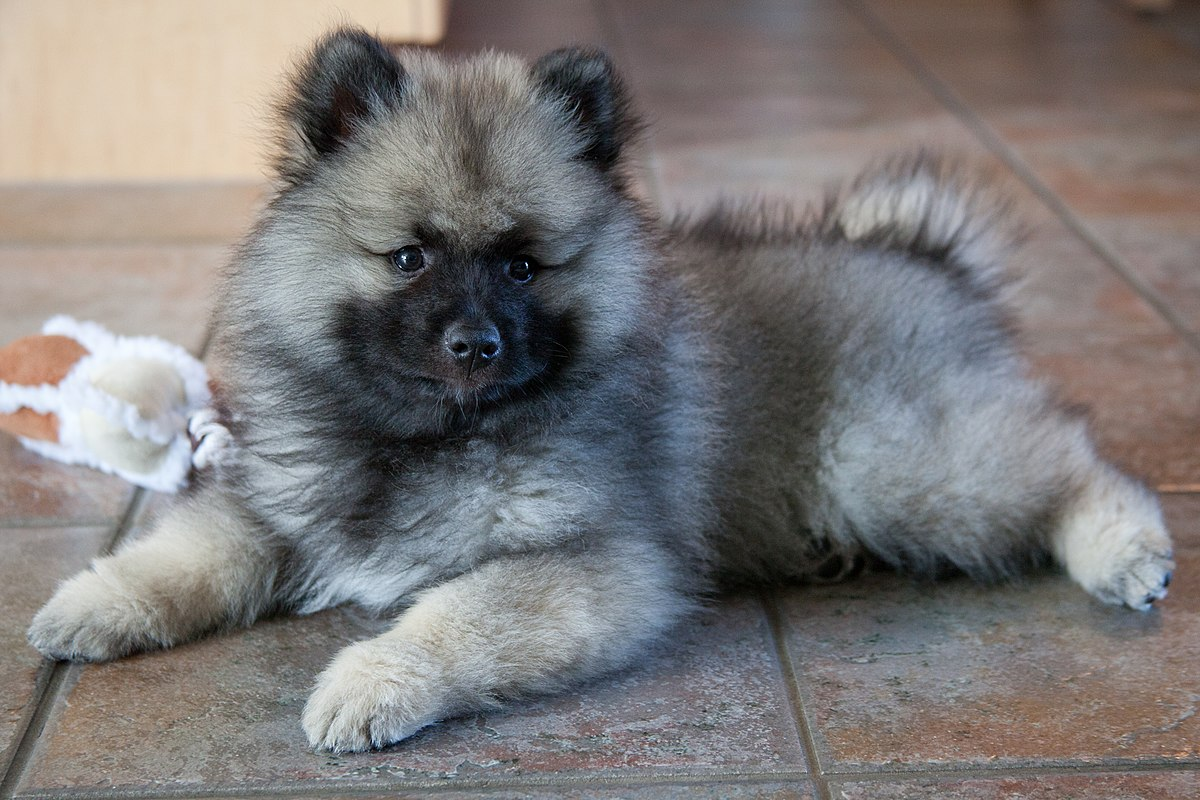 Little Puppy Keeshond.jpg