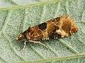 Lobesia reliquana (41247163352).jpg