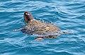 Loggerhead Turtle 4 (21468500099).jpg