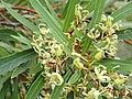 Lomatia myricoides P1280378 (28159829419).jpg
