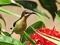 Loten's sunbird Female.jpg