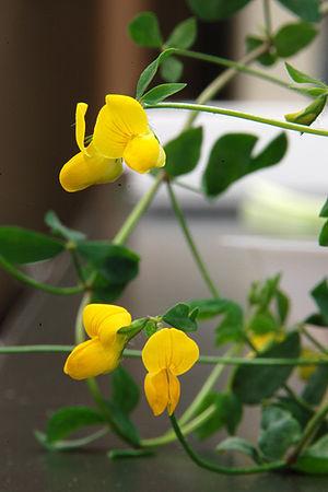 Lotus japonicus - Image: Lotus japonicus