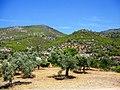Loutraki, Perachora. Оливковые деревья - panoramio.jpg