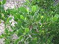Lumnitzera racemosa Willd.jpg