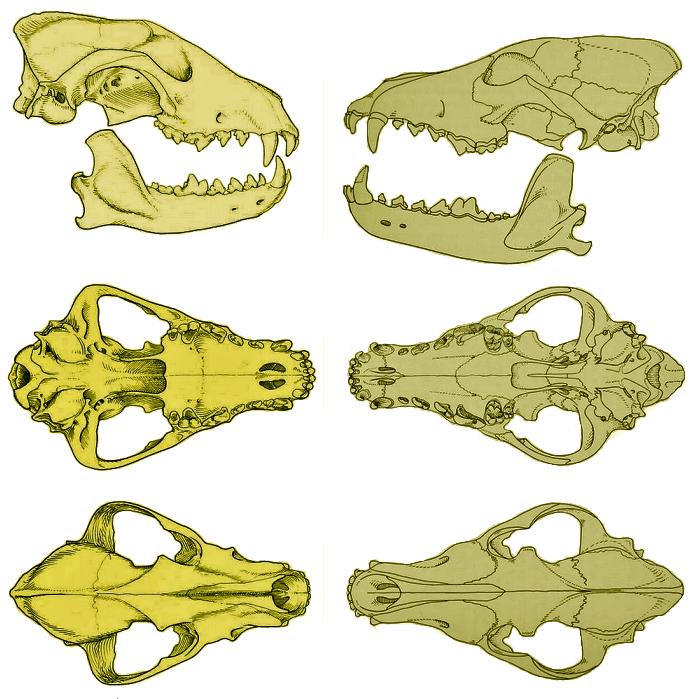 Lycaon pictus & Canis lupus skulls
