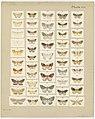 MA I437612 TePapa Plate-XIII-The-butterflies full.jpg