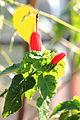 MHNT - Malvaviscus arboreus.jpg