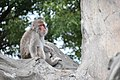 Macaca fuscata in Ueno Zoo 2019 26.jpg