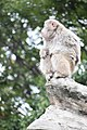 Macaca fuscata in Ueno Zoo 2019 32.jpg
