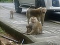 Macaque Monkeys from Monkey Hill, Phuket, Thailand (32048519188).jpg
