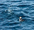 Macareux en pêche (2).jpg