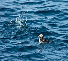 A puffin floating on the sea