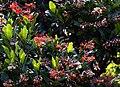Madeira, Palheiro Gardens - Alberta magna (Natal Flame Bush) IMG 2225-2.jpg