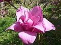 Magnolia 'Vulcan' (Magnoliaceae) flower.jpg