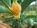Magnolia champaca flower.jpg
