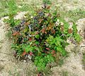 Mahonia aquifolium (Oregon grape), growing in Turkey - Flickr - brewbooks.jpg