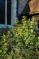 Mahonia aquifolium at the Church of St Mary and St Hugh, Churchgate Street, Harlow, Essex.jpg