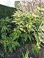 Mahonia japonica 'Hiemalis' (Berberidaceae) plant.jpg