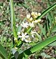 Maianthemum stellatum 2.jpg