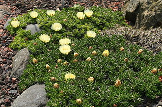 Taxonomy of the Cactaceae - Maihuenia poeppigii