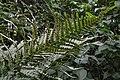 Male Fern (Dryopteris filix-mas) - Oslo, Norway 2020-08-29.jpg