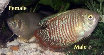 Female and male dwarf gouramis (Colisa lalia) ...
