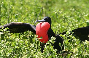 Great frigatebird - Adult male, displaying, with inflated gular sac