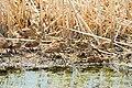 Mallard Hen and Brood on Sand Lake NWR (12793531243).jpg
