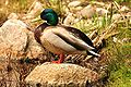 Mallard duck 03-05-2010.jpg