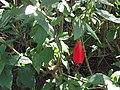Malvaviscus arboreus mexicanus-1-yercaud-salem-India.JPG