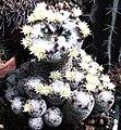 Mammillaria duwei forma.jpg