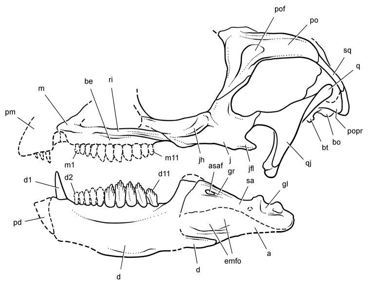 Manidens skull