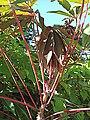 Manihot esculenta - leaves (Euphorbiaceae) 02.jpg