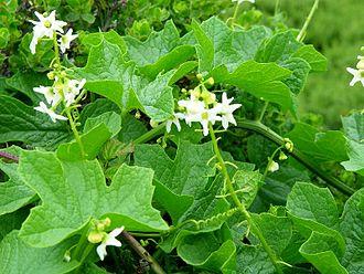 Marah (plant) - Marah oreganus (coastal manroot)