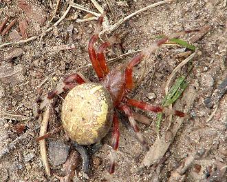 Araneus - Marbled orb-weaver (Araneus marmoreus), Temagami, Ontario
