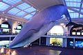 Marine Life Hall, American Museum of Natural History (7356570628).jpg