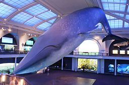 Blue Whale at the Marine Life Hall, American Museum of Natural History