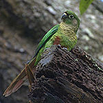 Maroon-bellied Conure (Pyrrhura frontalis) -on stump.jpg