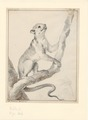 Martes americana - 1710-1792 - Print - Iconographia Zoologica - Special Collections University of Amsterdam - UBA01 IZA1000710.tif