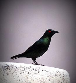 Burung Perling Mata Merah - Wikipedia Bahasa Melayu, en