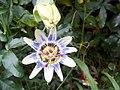 Mburucuya - flower 1.jpg