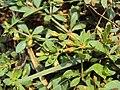 Mecardonia procumbens 03a.JPG