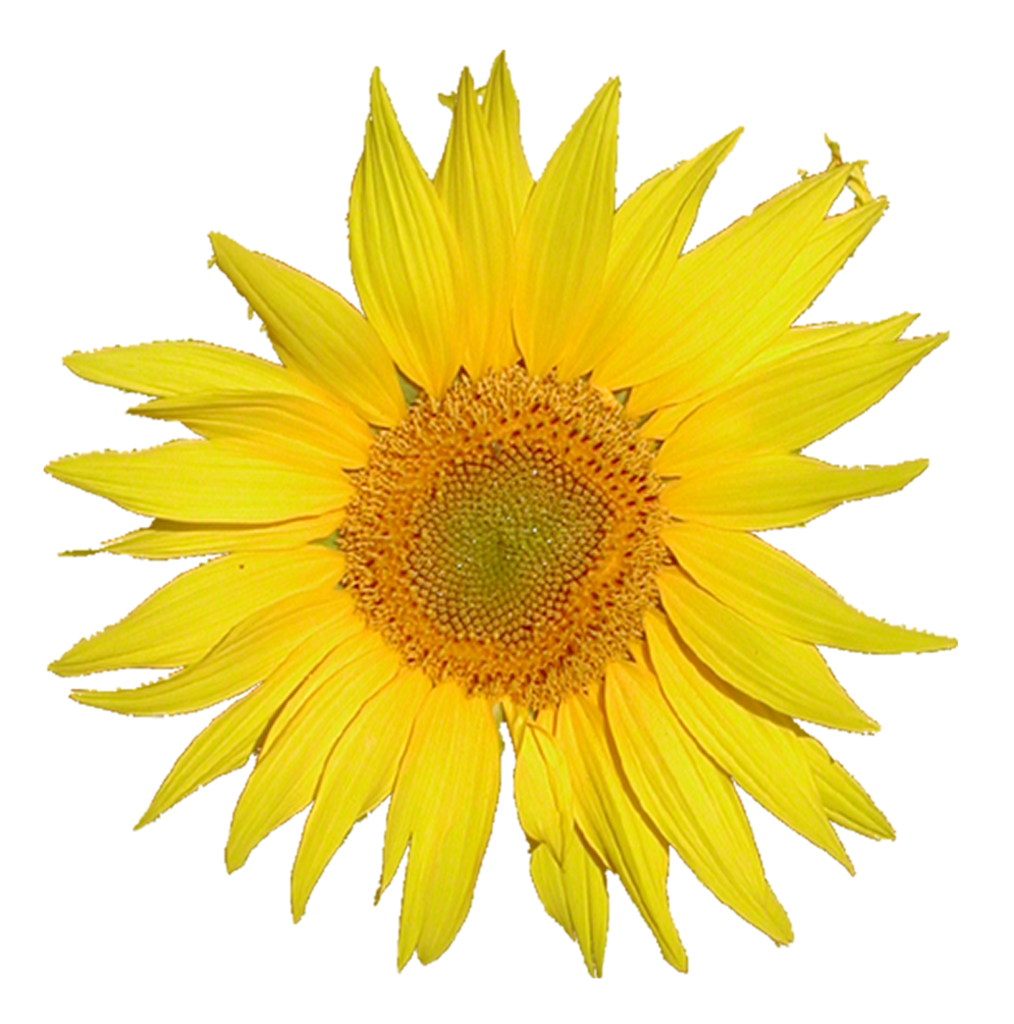 File:Mediawiki logo, 3x from Tournesol sunflower.png ...