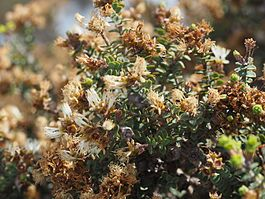Melaleuca dempta (leaves, flowers, fruits).JPG