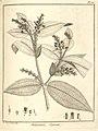 Melastoma spicata Aublet 1775 pl 165.jpg