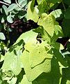 Menispermum canadense 5058.jpg