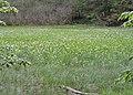 Menyanthes trifoliata kz04.jpg