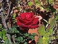 Mi rosa - panoramio.jpg
