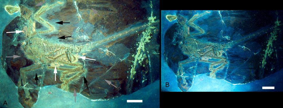 Microraptor gui holotype under UV light